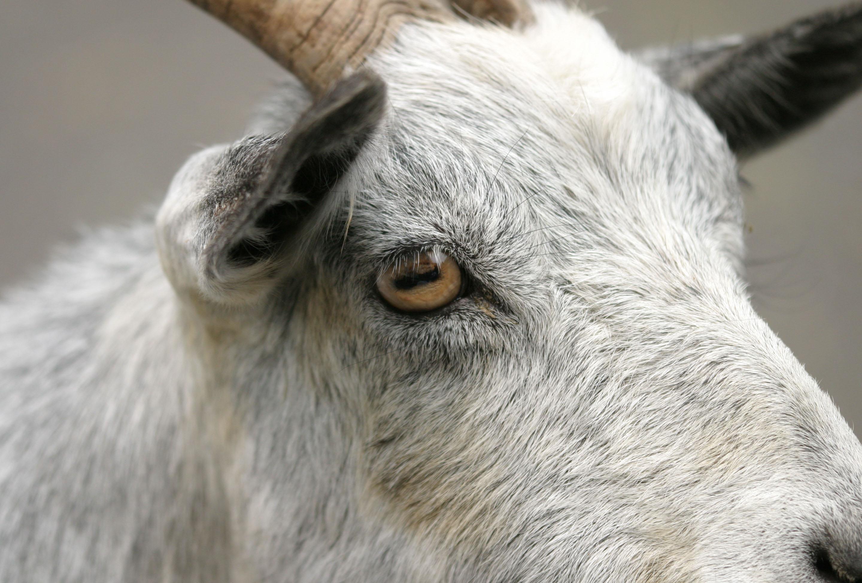 а вы в курсе что глаза у козы, такие же как и у осьминога? коза- сын ктулху.