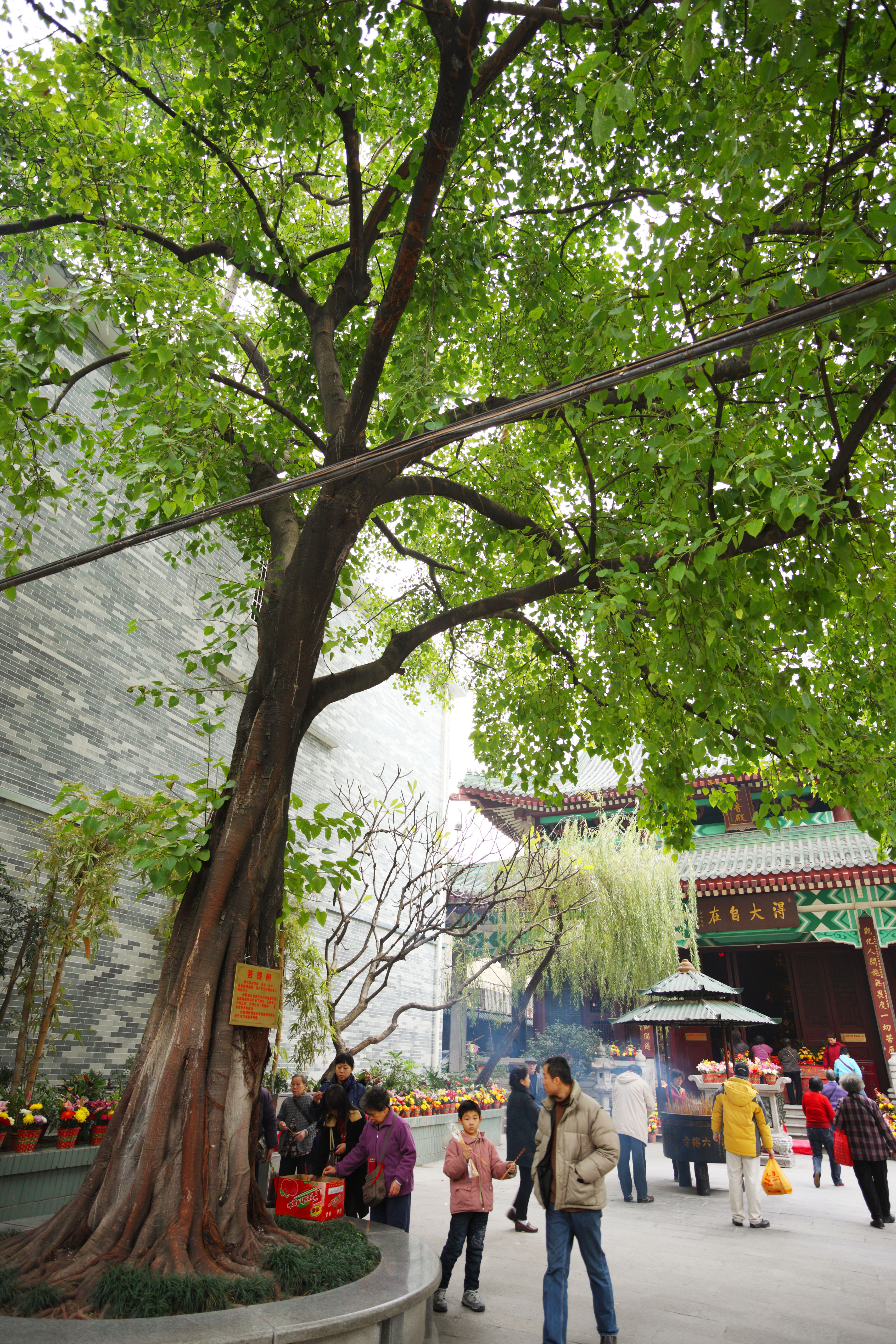 Yun fotografie di scorta gratis no 13668 un albero di for Tiglio albero