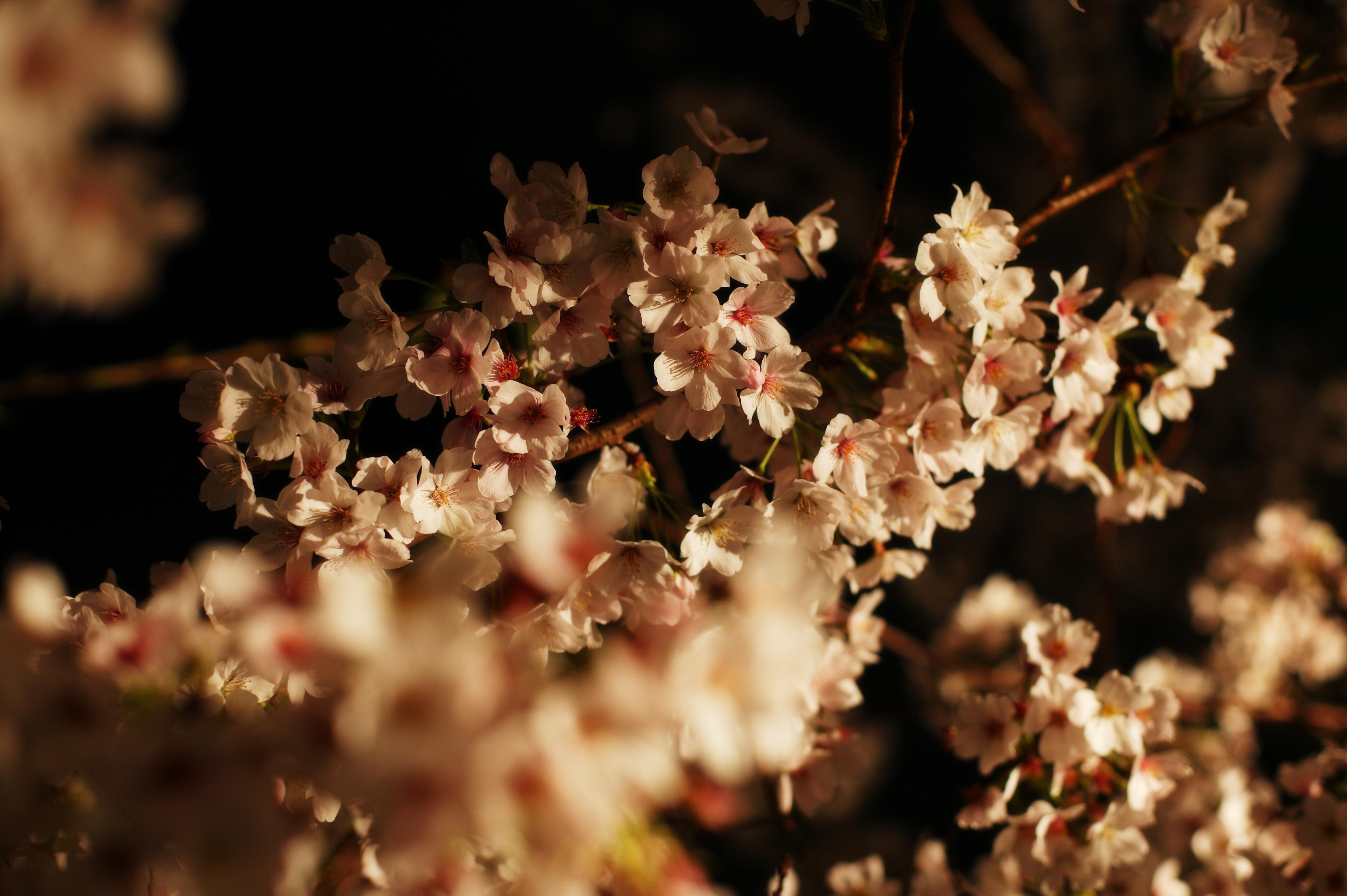 Секс цветы вишни 17 фотография