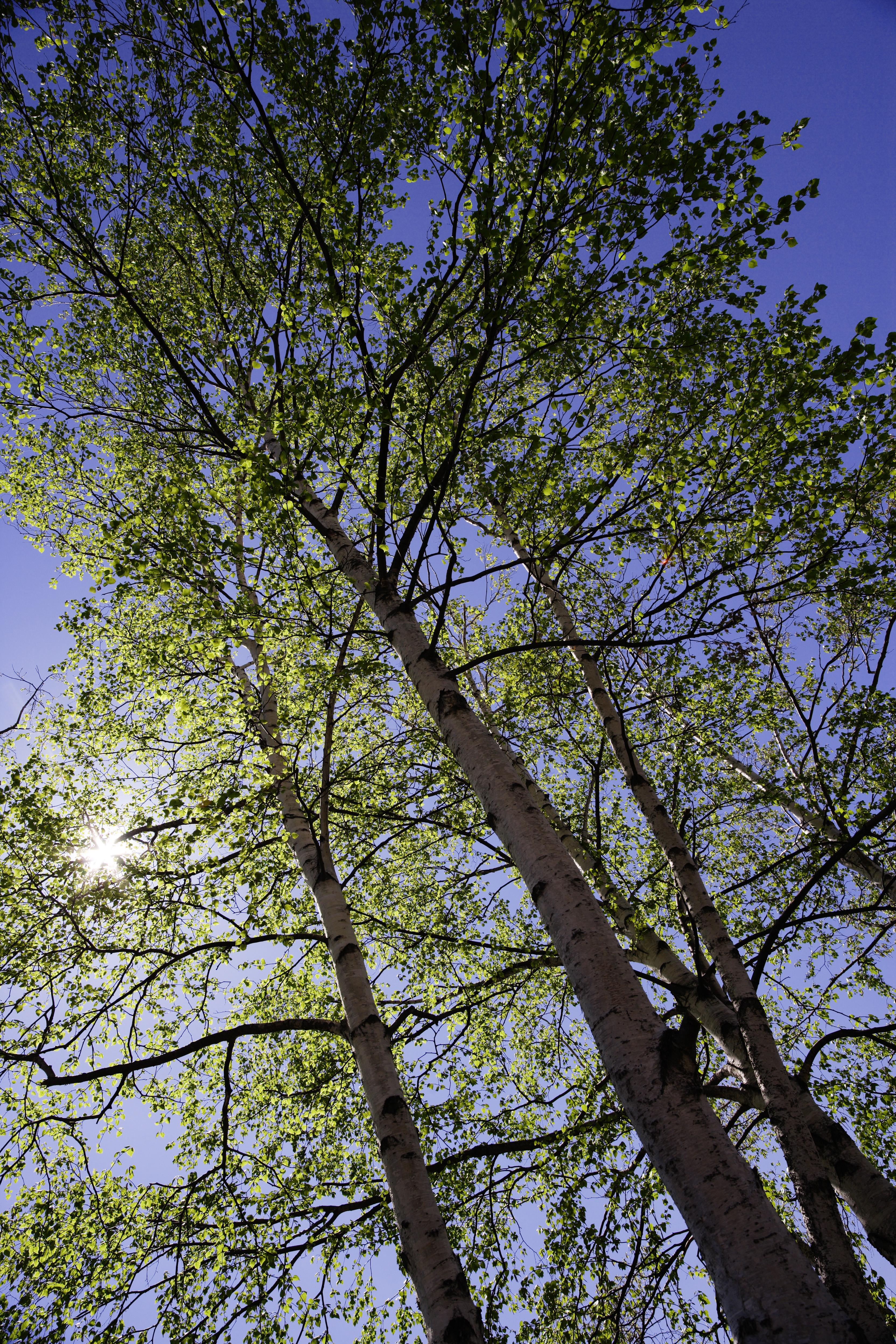 Yun gratis fotos no 2654 abedul blanco para un cielo azul jap n hokkaido - Abedul blanco ...