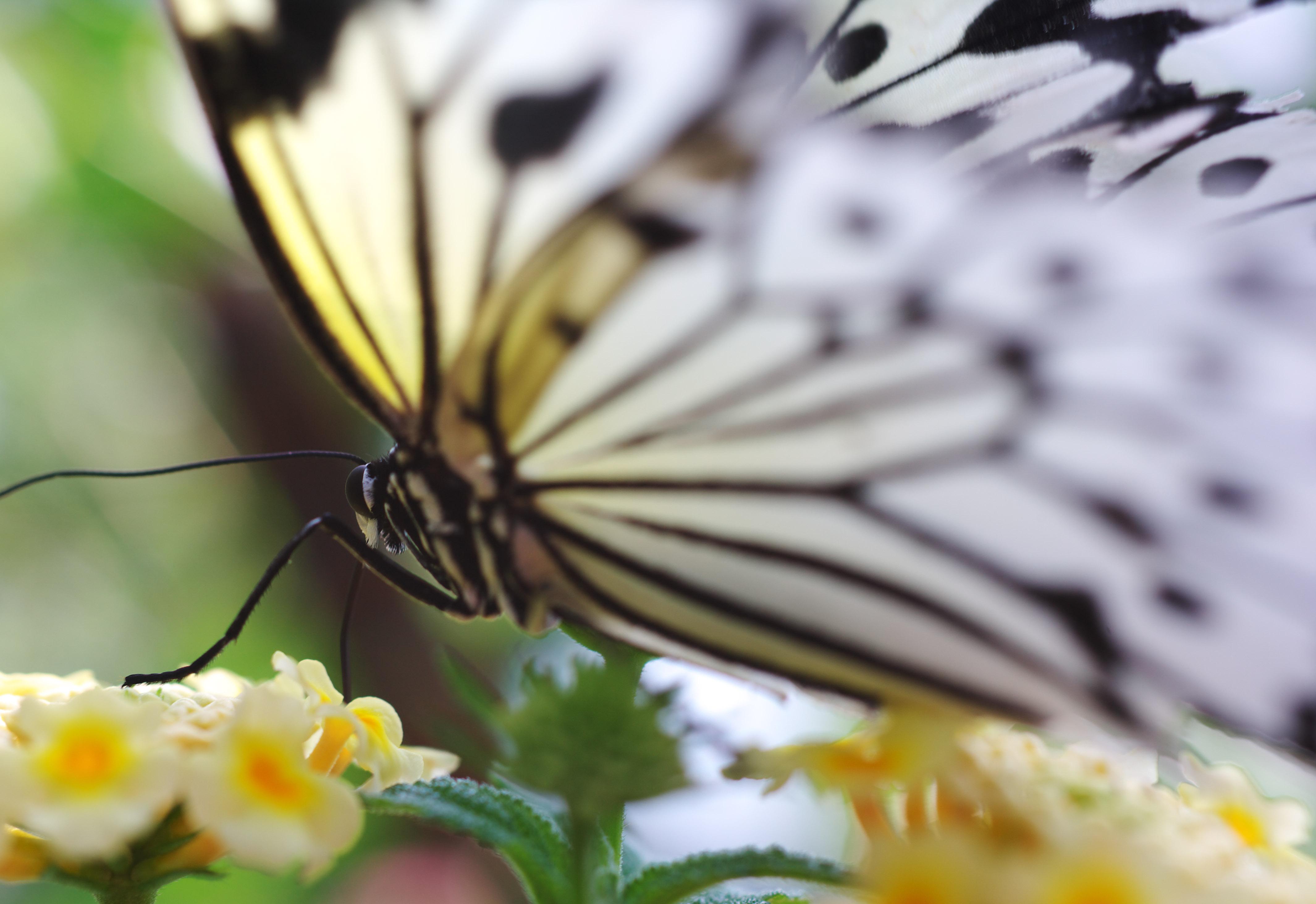 foto,tela,gratis,paisaje,fotografía,idea,Belleza de una mariposa, Mariposa, , , Flor