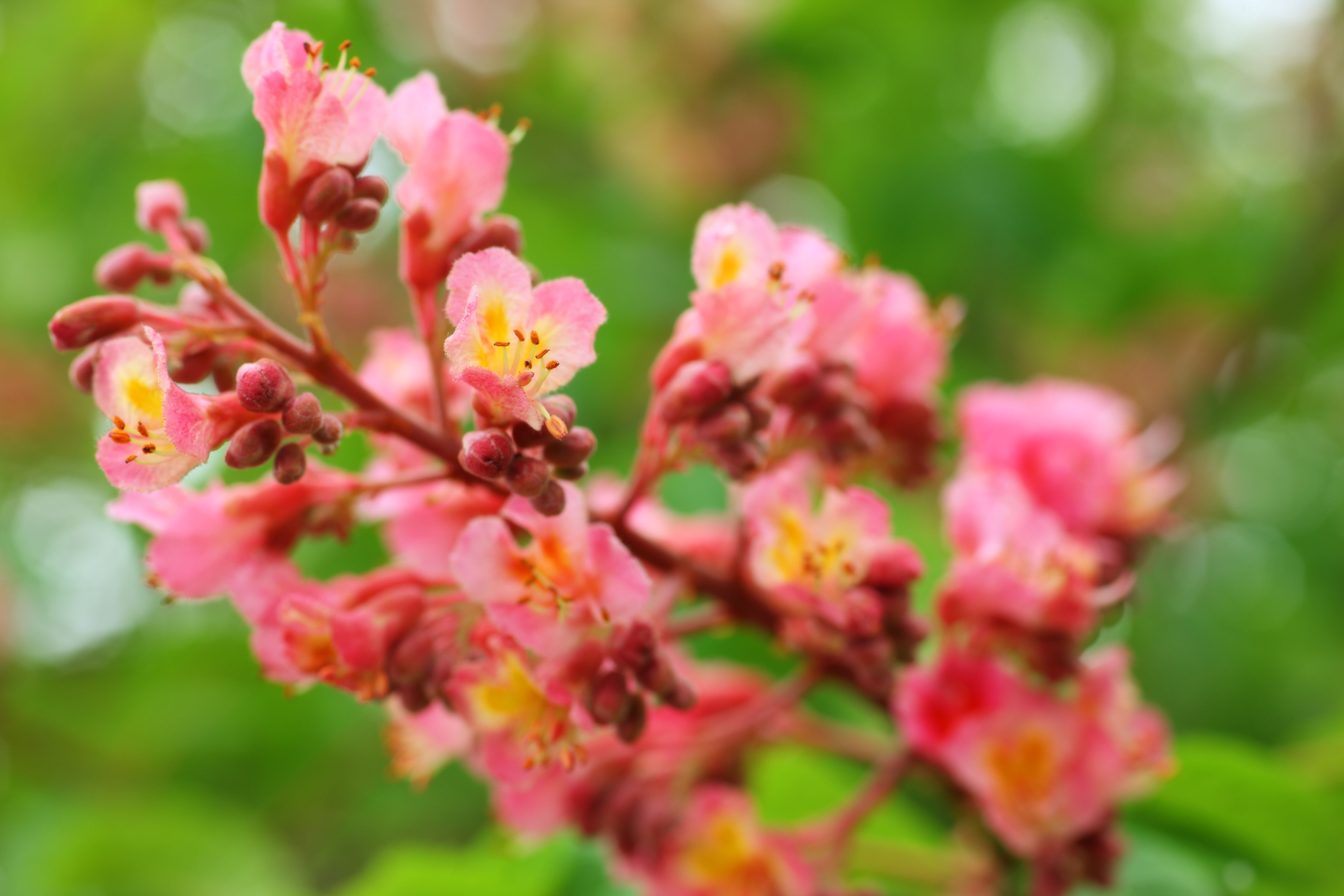 Yun Free Stock Photos No 7790 The Flower Of The Horse Chestnut