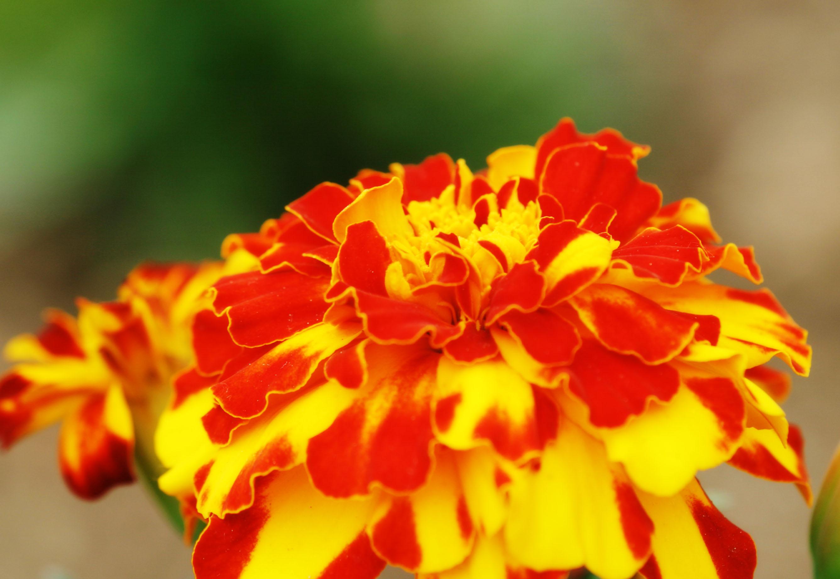 foto,tela,gratis,paisaje,fotografía,idea,Flores silvestres, Furano, Flor, Caléndula, Cielo azul