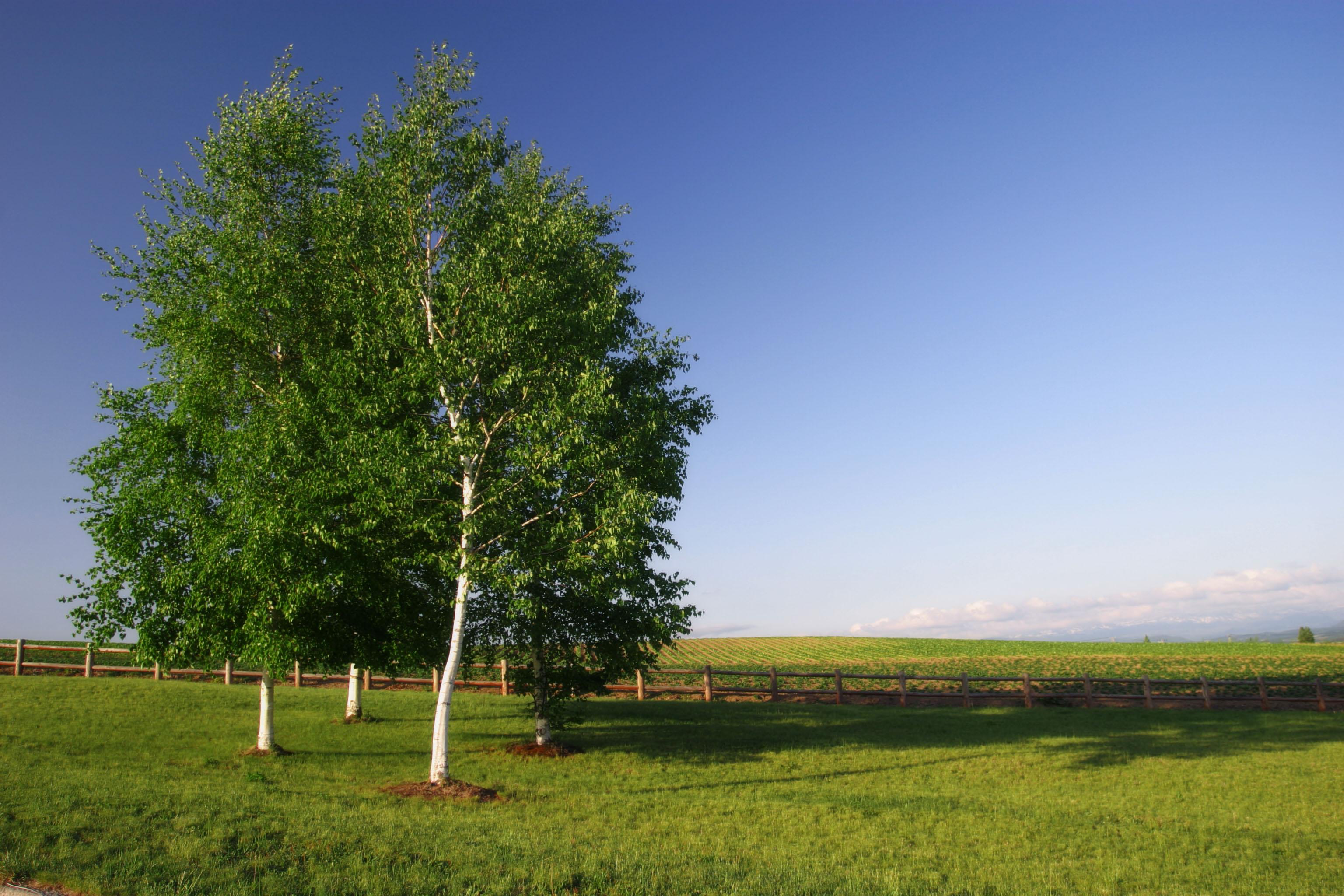 Yun gratis fotos no 972 abedul blanco y el cielo jap n hokkaido - Abedul blanco ...