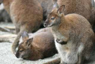photo,material,free,landscape,picture,stock photo,Creative Commons,Melancholic wallabies, kangaroo, , ,
