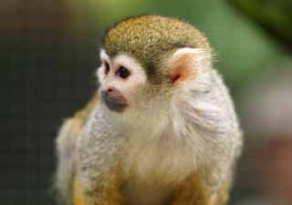 photo,material,free,landscape,picture,stock photo,Creative Commons,Squirrel monkey, ape, , monkey,
