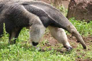 photo,material,free,landscape,picture,stock photo,Creative Commons,Giant anteater, anteater, , ,
