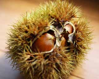 photo,material,free,landscape,picture,stock photo,Creative Commons,A chestnut in its burr, chestnut, bur, splinter, Fruit