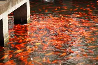 photo,material,free,landscape,picture,stock photo,Creative Commons,An outlook on port of flower fish, waterside, Saiko, The surface of the water, goldfish