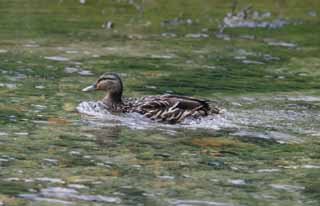 photo,material,free,landscape,picture,stock photo,Creative Commons,Swimming duck, river, duck, ,