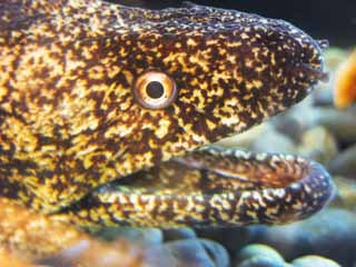 photo,material,free,landscape,picture,stock photo,Creative Commons,A moray, face, mouth, ,
