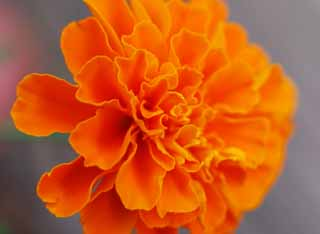 photo,material,free,landscape,picture,stock photo,Creative Commons,Marigold, marigold, , ,