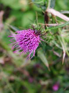 photo,material,free,landscape,picture,stock photo,Creative Commons,Thistle flower, thistle, , , purplish red