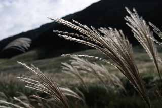 photo,material,free,landscape,picture,stock photo,Creative Commons,Silver grass, silver grass, , , grassland