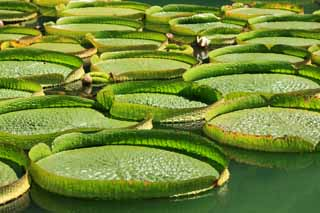photo,material,free,landscape,picture,stock photo,Creative Commons,Royal water lily, , , ,