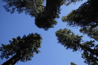 photo,material,free,landscape,picture,stock photo,Creative Commons,To the blue sky at the dry season, tree, blue sky, forest, conifer