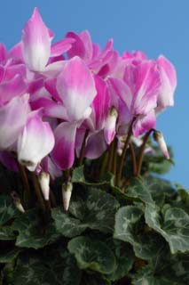 photo,material,free,landscape,picture,stock photo,Creative Commons,Pink cyclamen, cyclamen, petal, leaf, potted plant