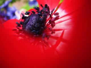 photo,material,free,landscape,picture,stock photo,Creative Commons,Red of anemone, Red, petal, bud, Pollen