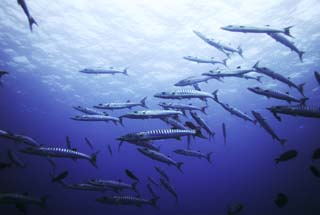 foto,tela,gratis,paisaje,fotografía,idea,Un banco de barracuda, Barracuda, Fenomenal barracuda, Banco de peces, El mar