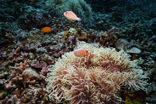 photo,material,free,landscape,picture,stock photo,Creative Commons,Hana handbill anemone fish, , anemone fish, seanemone, underwater photograph