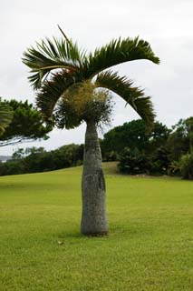 photo,material,free,landscape,picture,stock photo,Creative Commons,Hyophorbe lagenicaulis, coconut tree, Lasi, palm,