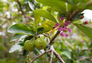 photo,material,free,landscape,picture,stock photo,Creative Commons,A young fruit of acerola, Acerola, Pink, flower, Fruit
