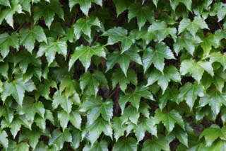 photo,material,free,landscape,picture,stock photo,Creative Commons,One ivy, ivy, Ivy, ,