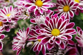photo,material,free,landscape,picture,stock photo,Creative Commons,Chrysanthemums, chrysanthemum, , I work, flower