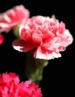 photo,material,free,landscape,picture,stock photo,Creative Commons,Pink of a carnation, carnation, bouquet, petal, Pink