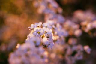 photo,material,free,landscape,picture,stock photo,Creative Commons,Dusk of a spirea, , spiraea, spirea, The setting sun