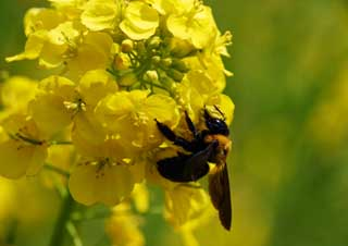 photo,material,free,landscape,picture,stock photo,Creative Commons,A carpenter bee and a rape, rape flower, bear bee, bee,