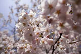 photo,material,free,landscape,picture,stock photo,Creative Commons,A cherry tree blooms, cherry tree, , , Yoshino cherry tree