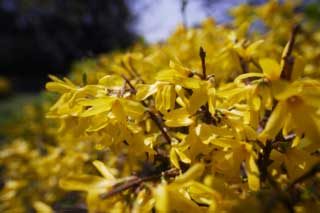 photo,material,free,landscape,picture,stock photo,Creative Commons,Weeping forsythia, Weeping forsythia, , Yellow, Forsythisuspensa