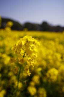 photo,material,free,landscape,picture,stock photo,Creative Commons,Rape flowers, rape flower, NanoHana, Yellow,