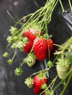 photo,material,free,landscape,picture,stock photo,Creative Commons,A strawberry of the crop time, strawberry, , , Fruit