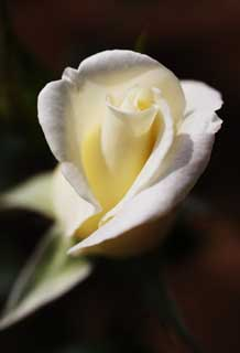 photo,material,free,landscape,picture,stock photo,Creative Commons,A white rose, White, petal, rose,
