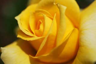 photo,material,free,landscape,picture,stock photo,Creative Commons,A yellow rose, Yellow, petal, rose,