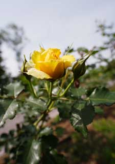 photo,material,free,landscape,picture,stock photo,Creative Commons,Spring of a yellow rose, Yellow, petal, rose,