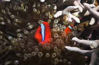 photo,material,free,landscape,picture,stock photo,Creative Commons,Hama anemone fish, coral reef, Tropical fish, , anemone fish