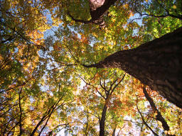 photo,material,free,landscape,picture,stock photo,Creative Commons,Skyward, autumn leaves, , ,