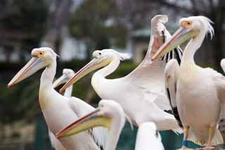 photo,material,free,landscape,picture,stock photo,Creative Commons,A row of pelicans, , pelican, bill,