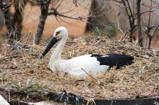 photo,material,free,landscape,picture,stock photo,Creative Commons,Incubation of a stork, stork, , Incubation, nest