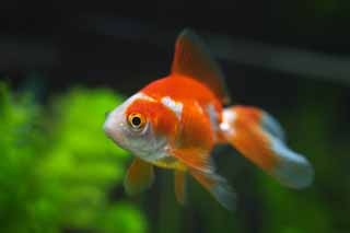 photo,material,free,landscape,picture,stock photo,Creative Commons,LARA of a goldfish, goldfish, , ,
