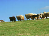 photo,material,free,landscape,picture,stock photo,Creative Commons,Seep being driven, turf, blue sky, sheep,