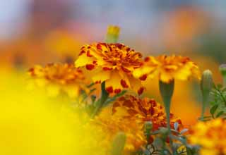 photo,material,free,landscape,picture,stock photo,Creative Commons,An atmosphere of Marigold, Yellow, Red, Marigold,
