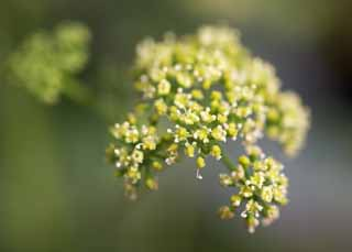 photo,material,free,landscape,picture,stock photo,Creative Commons,A flower of a parsley, parsley, , Herb, Cooking