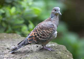 photo,material,free,landscape,picture,stock photo,Creative Commons,A rufous turtledove, dove, , ,