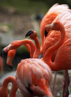 photo,material,free,landscape,picture,stock photo,Creative Commons,A forest of A flamingos, , flamingo, Pink,