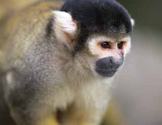 photo,material,free,landscape,picture,stock photo,Creative Commons,Squirrel monkey, monkey, , Squirrel monkey, squirrel monkey