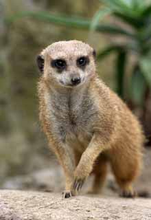 photo,material,free,landscape,picture,stock photo,Creative Commons,Meerkat, Meerkat, , mongoose, Family parentage
